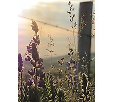 Fenced Lupins Photographic Print