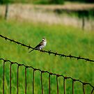 Song Sparrow on Barbed Wire by Marcia Rubin