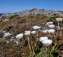 Paper Daisies - Overland Track Tasmania by LostTambo