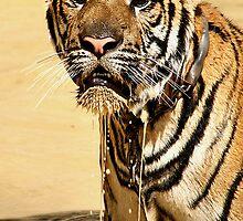 Dripping Tiger, Kanchanaburi, Thailand  by Carole-Anne