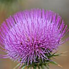 Beautiful Desert Weed - New Mexico Thistle by Ron Wright