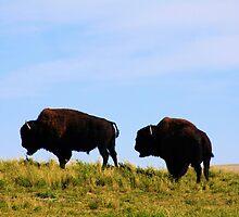 Wild Buffalo by Alyce Taylor