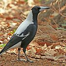 Adult Australian Magpie by Robert Abraham