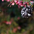 New Holland Honeyeater by Barry Armstead