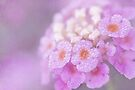 misty lantana by Teresa Pople