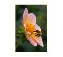 Bumble bee gathering pollen from a pink flower Art Print