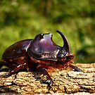 Rhinoceros beetle ( Oryctes nasicornis )  male by Istvan froghunter