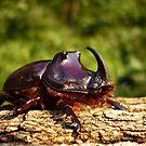 Rhinoceros beetle ( Oryctes nasicornis )  male by Istvan Natart