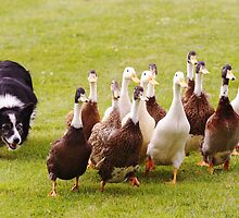 Ducks being herded by a Border Collie. by Antony Lakey