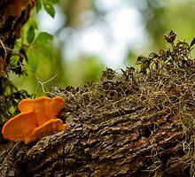 sulfur mushroom on old oak 2 by Manon Boily