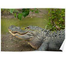 Alligator In Profile Sunning On Sandbar Poster