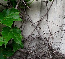 Leaves and Vines - Clifton Park by R. Allen Walker