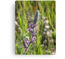 Showy Locoweed Canvas Print