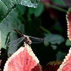 Dragonfly & Colius by Karen K Smith