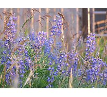 Lupin Blue Photographic Print