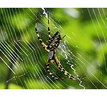 Black and yellow garden spider(orbweaver) Photographic Print