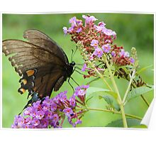 Eastern Tiger Swallowtail Female Poster