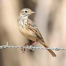 Little Grassbird by triciaoshea