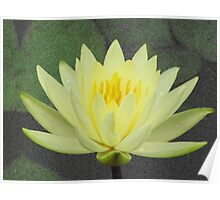 Waterlily after rain Poster