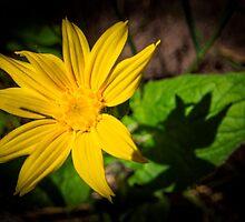 FlowerShadows by WyoWanderer