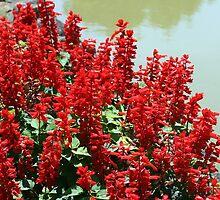 Salvia Splendens by sstarlightss