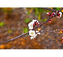 Last little blossoms... Photographic Print