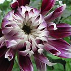 Dahlias glory by orko