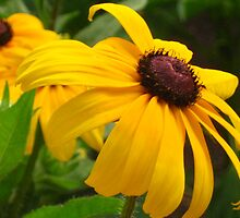 Rudbeckias by Maria1606