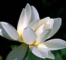 White Lotus by sstarlightss