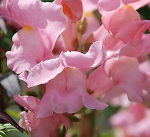 Snapdragons Antirrhinum by Georgia Conroy