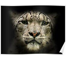 Snow Leopard (Uncia uncia or Panthera uncia) Poster