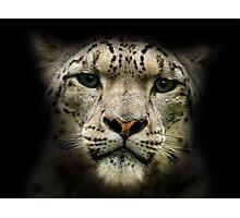 Snow Leopard (Uncia uncia or Panthera uncia) Photographic Print