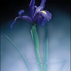 Iris by Michael Waine