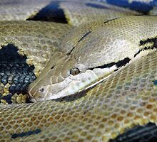 Reticulated  Python by NVSphoto