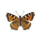 Tortoiseshell Butterfly by Gill Rippingale