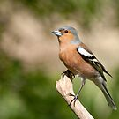Chaffinch (male) by M.S. Photography/Art