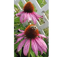 Bee on Pink Coneflower Photographic Print
