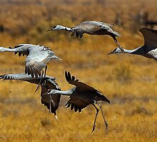 Sandhill Cranes on the Wing by Marvin Collins