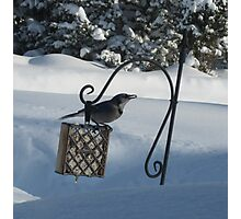 Bluejay in winter Photographic Print