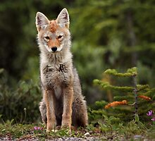 Kananaskis Pup by EchoNorth