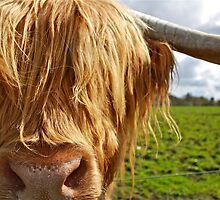 Hamish the Highland Bull by ACBPhotos