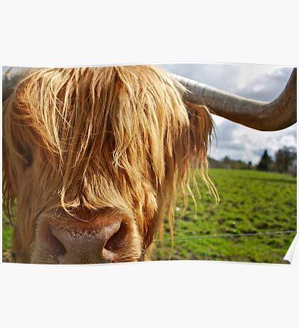 Hamish the Highland Bull Poster