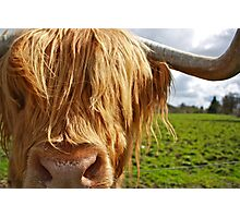 Hamish the Highland Bull Photographic Print
