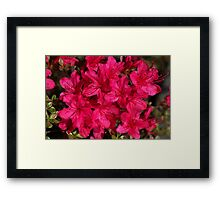Azalea's In Hot Pink Framed Print