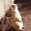 Cute Meercat by Jessica Hooper