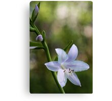 Hosta Blossoms - Late Afternoon Light Canvas Print