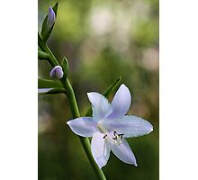 Hosta Blossoms - Late Afternoon Light Photographic Print