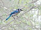 Blue Jay in Springtime Apple Tree by MotherNature