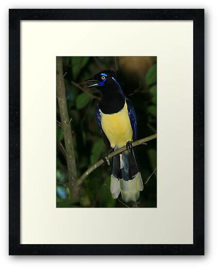 Plush-crested Jay by naturalnomad