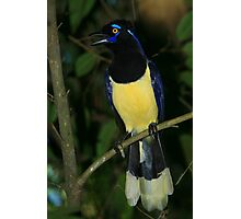 Plush-crested Jay Photographic Print